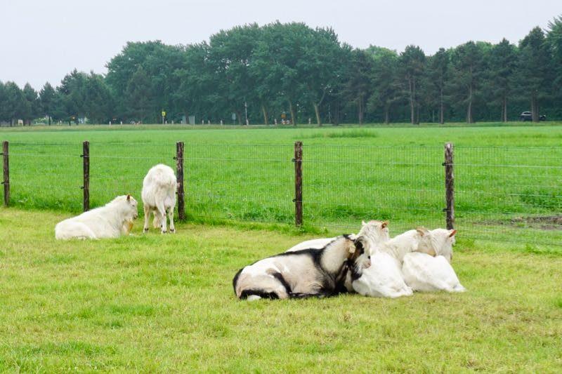 De bokken van de multi functionele boerderij 'De Mekkerstee' in Ouddorp