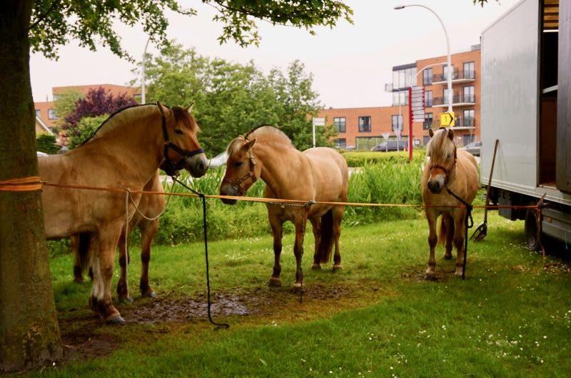 Fjordenpaarden wachten om te worden ingeladen
