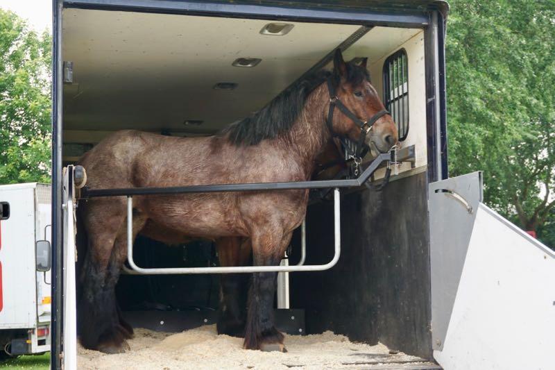 Twee Zeeuwse paarden in de laadbak van een vrachtwagen